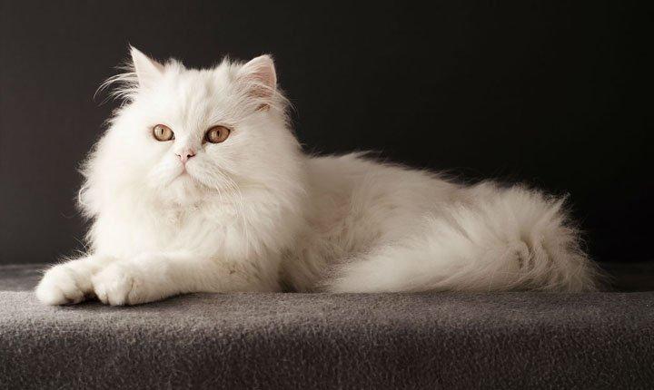 tips merawat kucing persia