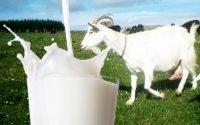 Manfaat Susu Kambing Etawa Bagi Kesehatan