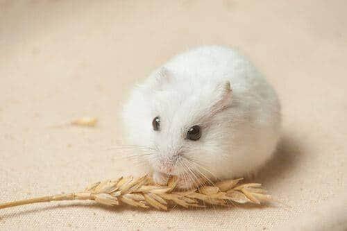 Makanan hamster