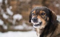 Anjing Menjadi Agresif