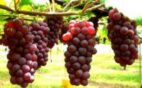 Tips Menanam Anggur