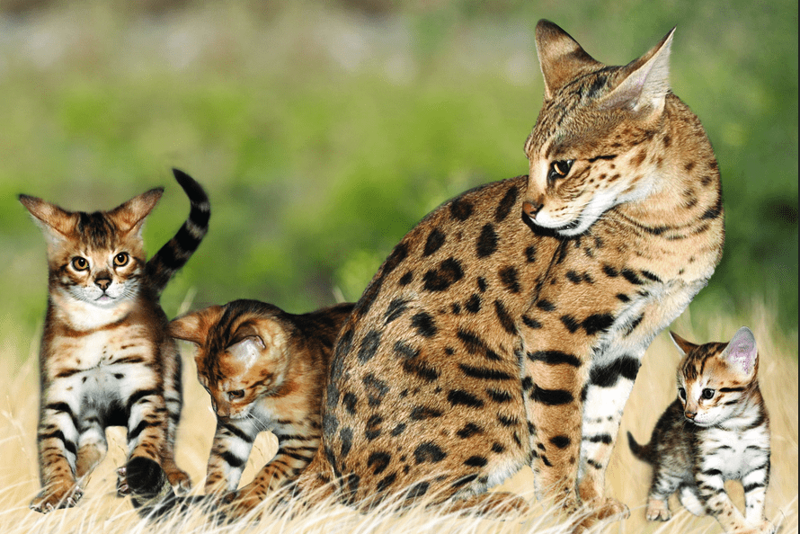 Mau Tahu Apa Saja Jenis Kucing Paling Mahal Di Dunia Ini Jenisnya