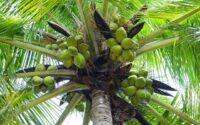 arti mimpi buah kelapa
