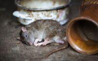 Cara Cepat Menemukan Tikus Mati