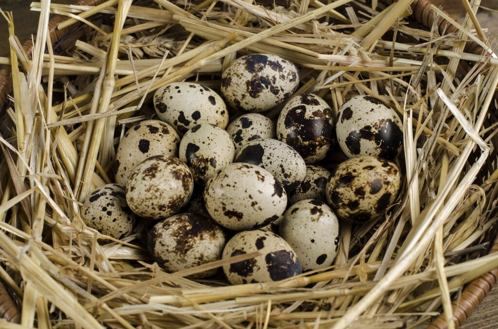 Manfaat Telur Puyuh Bagi Kesehatan Tubuh Manusia