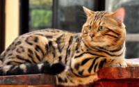 ras alergi bulu kucing