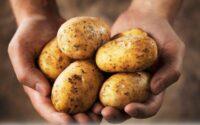 Kentang bagus dikonsumsi untuk membantu tubuh menjaga kesehatan. Jika tidak suka dengan kentang rebus maka anda bisa mengonsumsi kentang dengan cara lain.