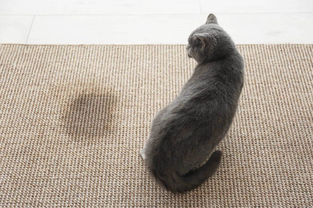 cara menghilangkan bau kucing