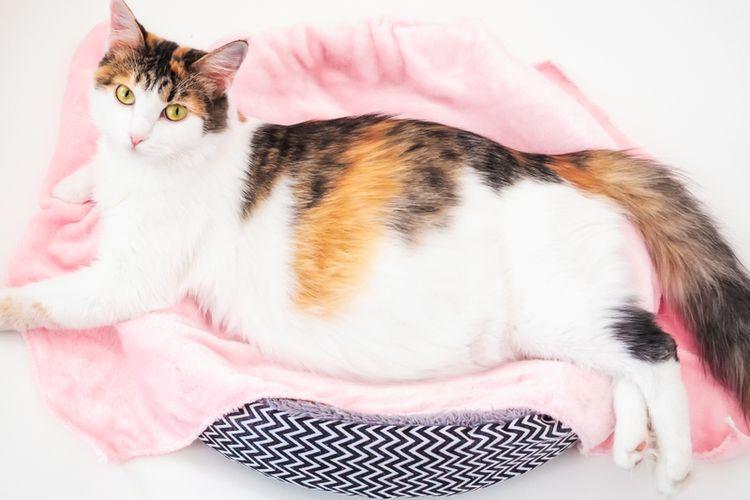 periode kehamilan kucing