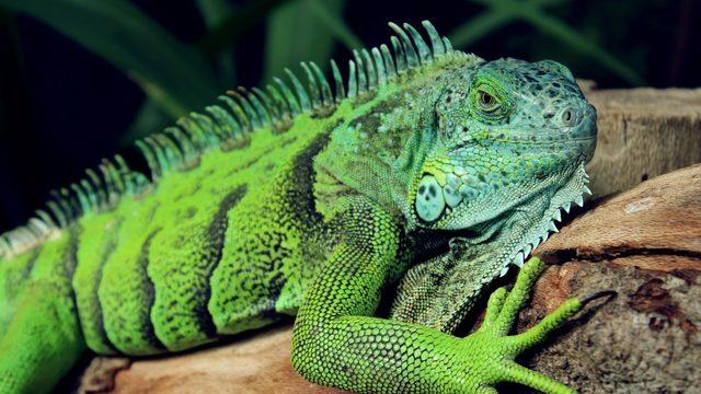 sebelum memelihara iguana