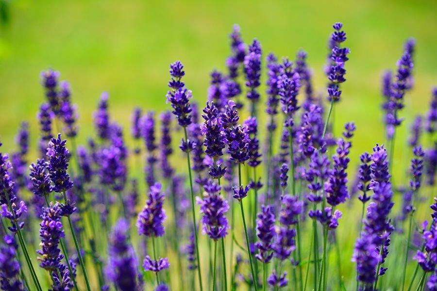tanaman hias untuk kesehatan