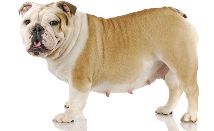 tanda awal anjing hamil