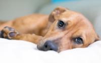 Cara Mengetahui Anjing Alergi Makanan