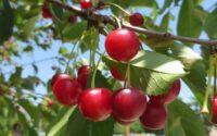 manfaat buah kersen untuk kesehatan