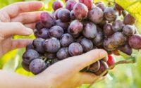 keistimewaan buah anggur